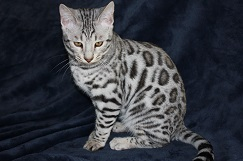 Ice Walker - Titan Bengals Cattery