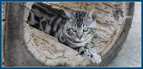 Silver Bengal Kittens and Bengal Cats – Titan Bengals