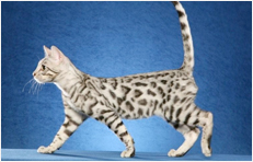 Steely - Titan Bengals Cattery