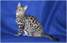 Willow - Titan Bengals Cattery