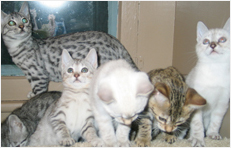 Titan Bengals Cattery
